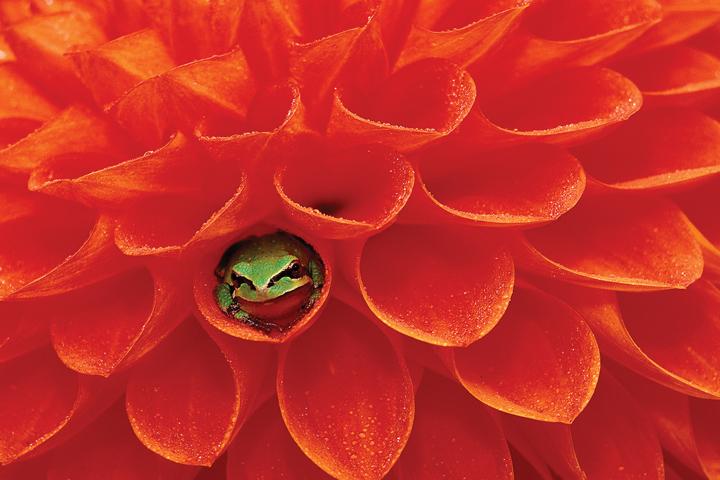 Frog-and-Dahlia,-Dennis-Kirkland