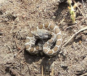 rattlesnake_young
