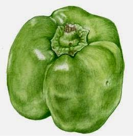 botanical drawing pepper