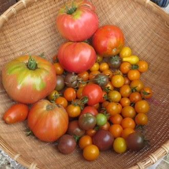 CIB Tomatos