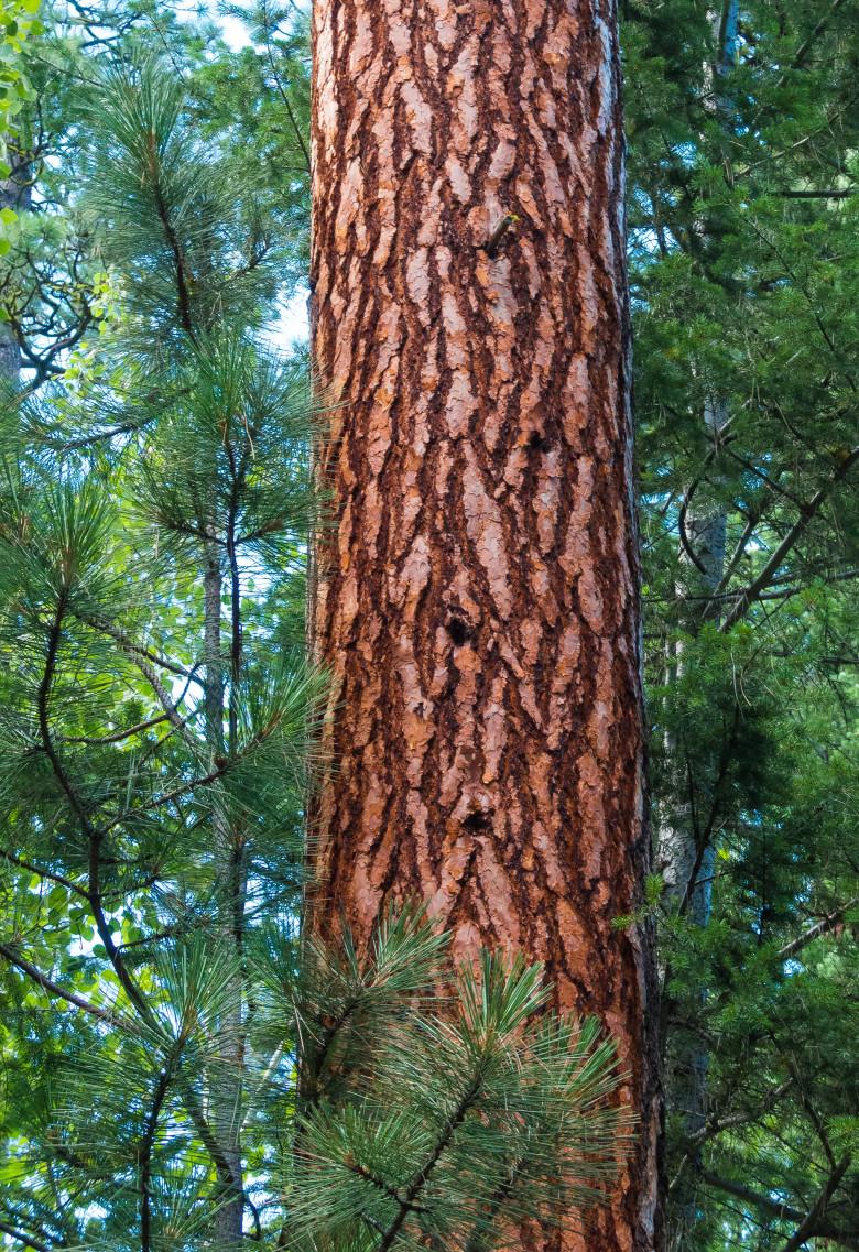 wg-ponderosa-pine-by-teri-pieper